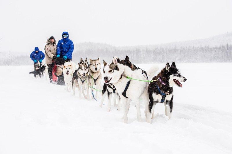 Excursiones en trineo tirado por perros en Skellefteå, Suecia