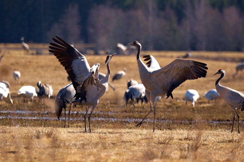 Dancing cranes by Hornborgarsjön, West Sweden