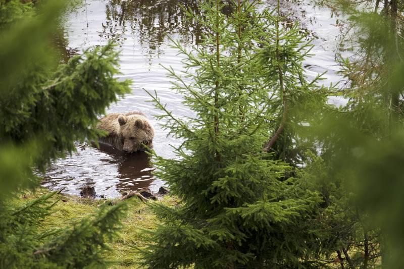 Bears at Orsa Grönklitt, Dalarna